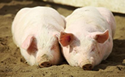 岡山JA畜産株式会社 岡山事務所豚の飼育管理スタッフ〔未経験歓迎・残業ほぼ無し〕画像