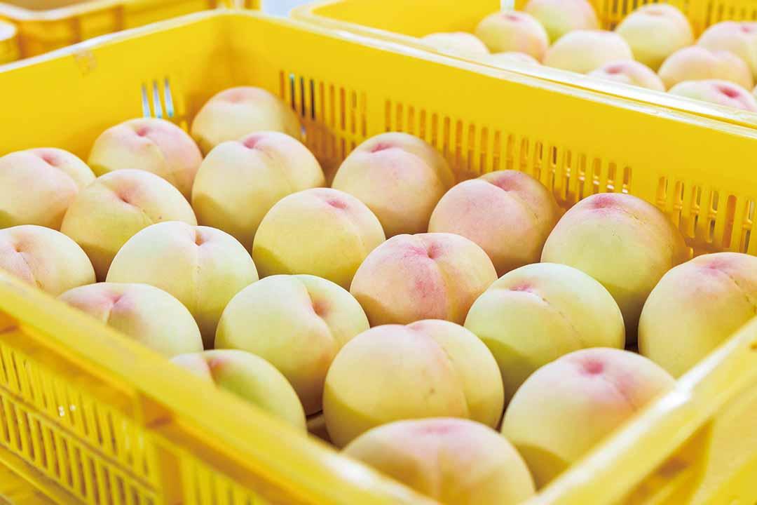 サンサン・ファーム いちかわ桃の収穫補助及び軽作業〔短期〕画像