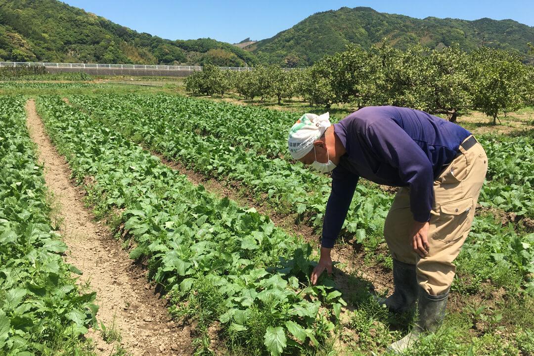 大上農園スイートコーンの収穫・袋詰めスタッフ〔短期〕画像